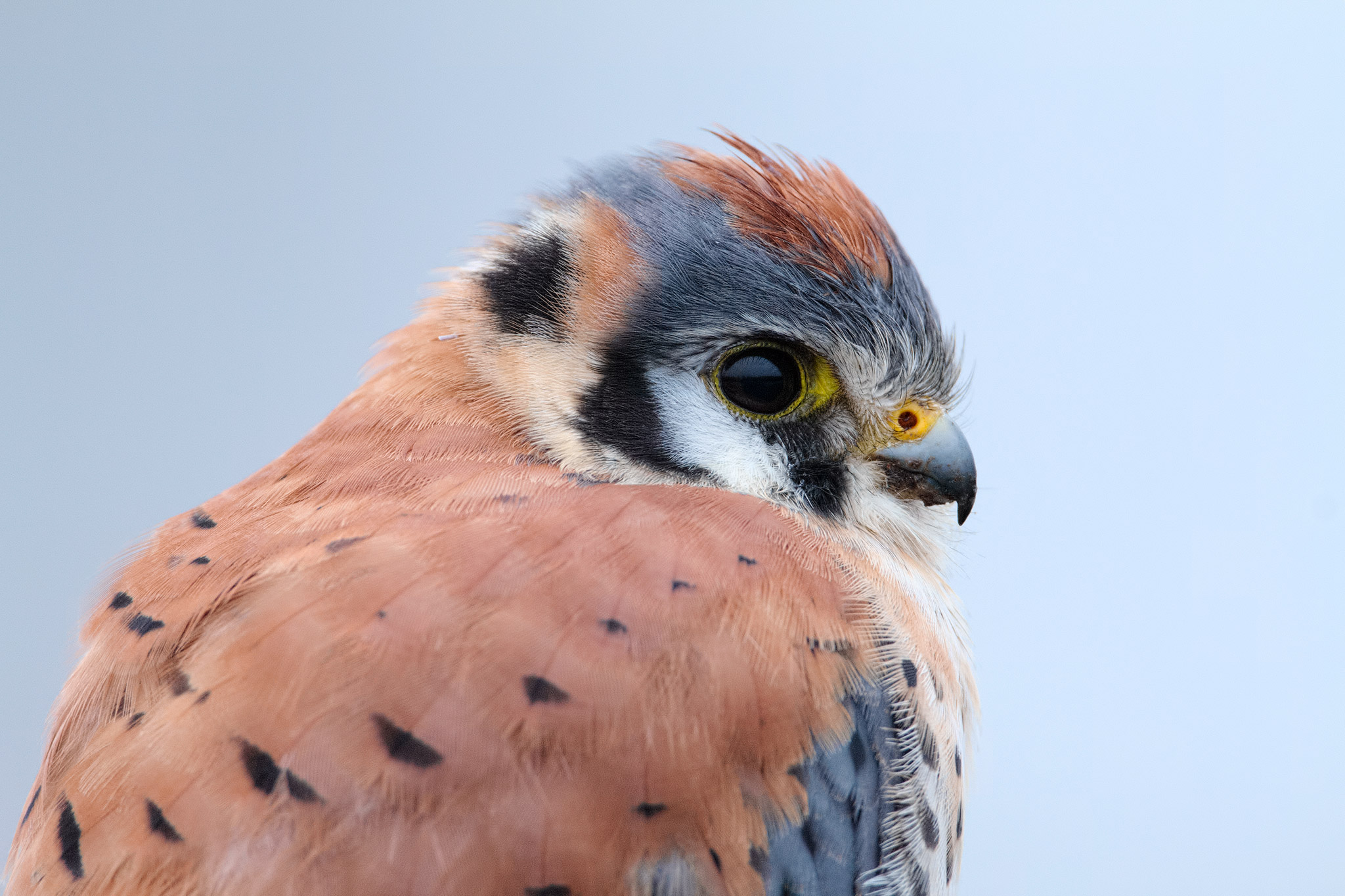 Kestrel_Attribution-NonCommercial-NoDerivs 2.0 Generic (CC BY-NC-ND 2.0)_Rick Cameron