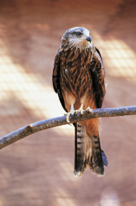 Image of a red kite perching on a branch