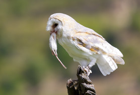 Barn owl image copyright Fotosearch