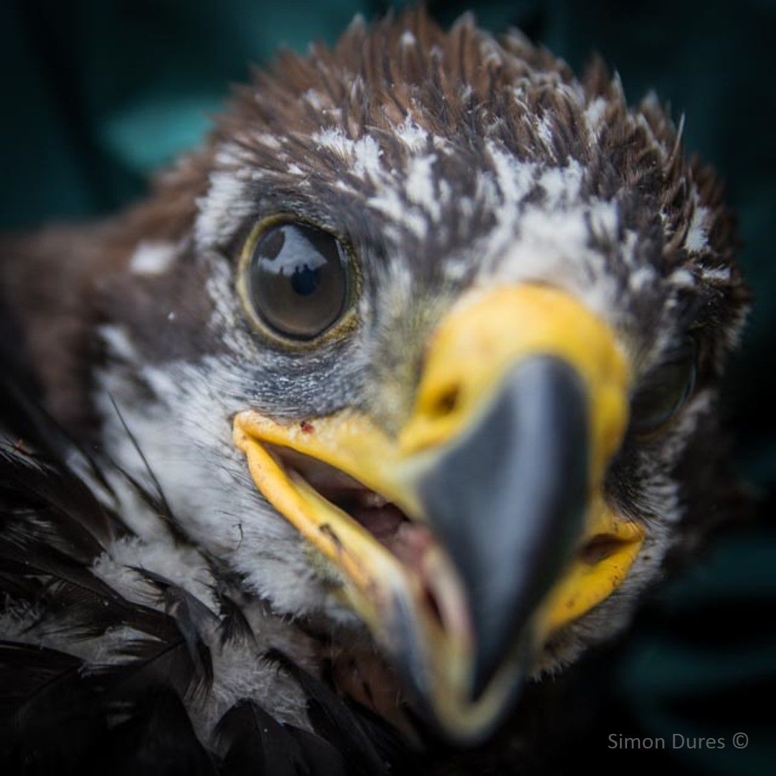 Red kite chick close up