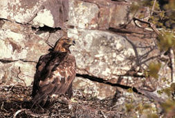 Image of a golden eagle