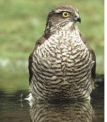 Image of a sparrowhawk