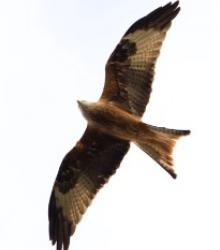 Image of a red kite soaring in the sky